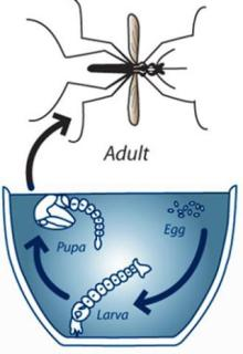 Mosquito Biology